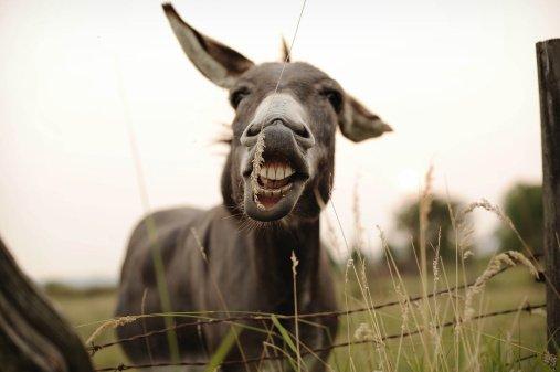 smiling-donkey